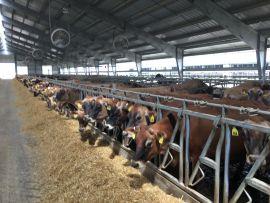 Qual dieta suas vacas comem?