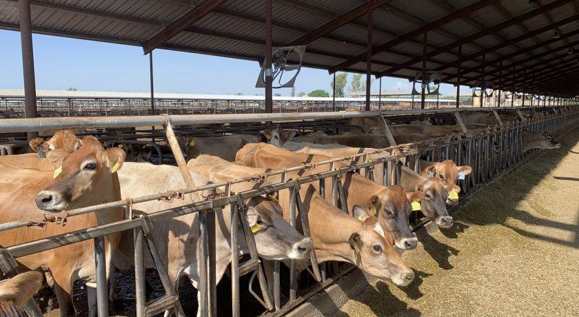 EMBRAPA: Nutrição de precisão alia produção e sustentabilidade na pecuária leiteira