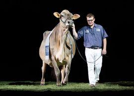 A Vaca da Raça Pardo Suíço é bi-Suprema Campeã na World Dairy Expo