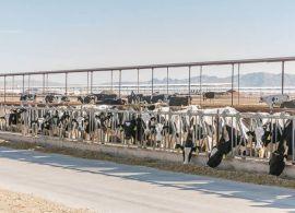 Número de vacas de leite diminui ao redor do mundo