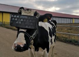 Fazendeiros russos testam Realidade Virtual em vacas