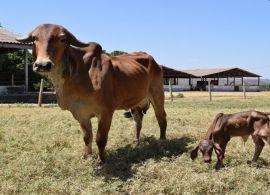 Nasce filha do primeiro clone de gir leiteiro da Embrapa Cerrados