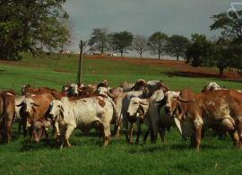 Retirada da vacinação de aftosa pode ser ruim para pecuária brasileira