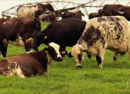 Mosca-dos-chifres pode derrubar produção de leite em até 20%