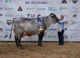2ª Exposição Virtual de Oliveira mostrou a força da Raça Girolando