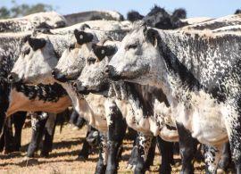 Uso de sêmen de corte em gado de leite explodiu nos EUA